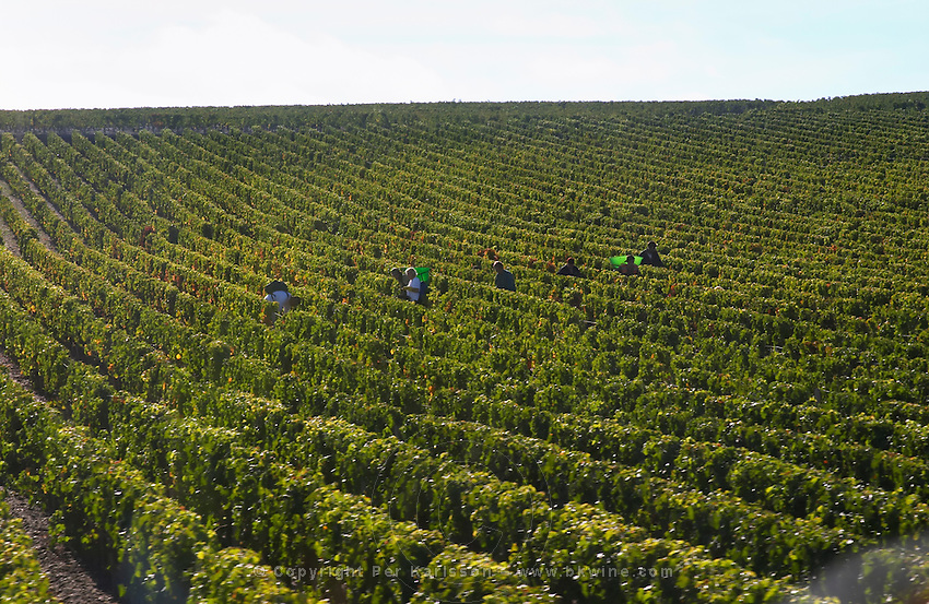 Vineyard. Harvest. Chateau Lafite rothschild, Pauillac, Medoc, Bordeaux, France