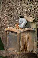 Douglas Squirrel (White Morph)  A85-3
