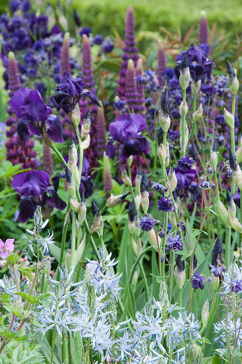 Iris 'Sable', Aquilega vulgaris 'Blue Barlow', purple Lupins, and pale blue Camassias. Morgan Stanley Healthy Cities Garden designed by Chris Beardshaw, RHS Chelsea Flower Show 2015.