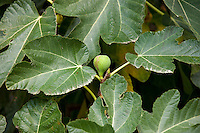 Fig tree, Ficus carica, in Val D'Orcia, Tuscany, Italy