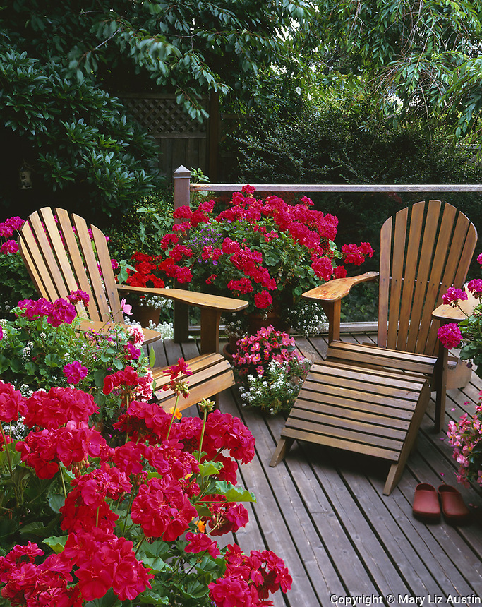 Vashon Island, WA           <br /> Outside deck with adirondack chairs nestled among large clay pots of flowering geraniums, begonias, and allysum
