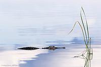 American Alligator and sky reflection, Alligator mississippiensis, Circle B Bar Reserve, near Lakeland, Florida