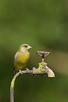 Grünfink, Grünling, Männchen sitzt auf Gartendeko, Grün-Fink, Chloris chloris, Carduelis chloris, Chloris chloris, greenfinch, male, Verdier d'Europe