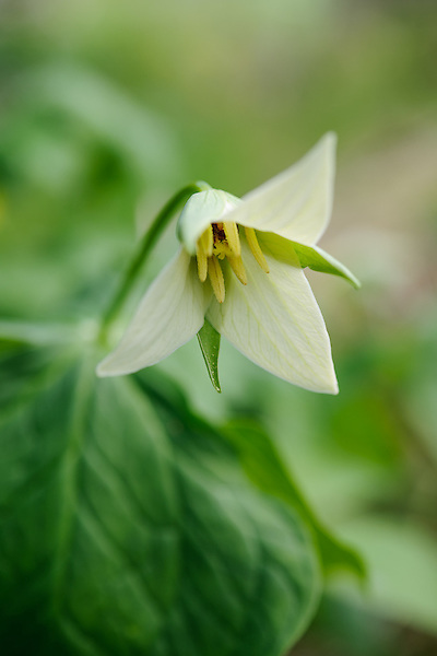 Trillium Flexipes (White Type)