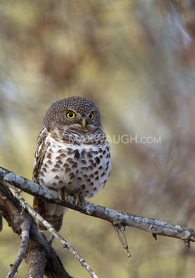 The African barred owlet is another tiny owl species related to pygmy owls.