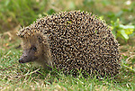 Hedgehog, Erinaceus europaeus, female, adult, on lawn in garden.United Kingdom....