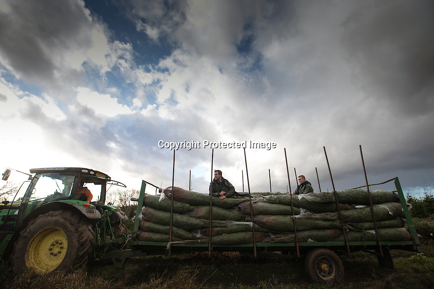 21/11/16<br /> <br /> Braving torrential rain and gale force winds, Christmas tree farmers begin their harvest one week earlier than in previous years after an unprecedented number of early orders from garden centres across the country.  The muddy field in Groby, near Leicester is one of many owned by Cadeby Tree Trust who will cut and wrap more than 100,000 seasonal trees this year.<br /> <br /> All Rights Reserved F Stop Press Ltd. +44 (0)1773 550665
