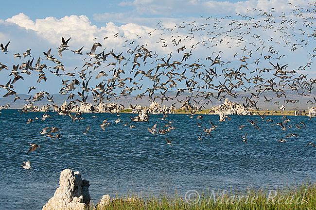Wilson's Phalaropes (Phalaropus tricolor) flock in flight at Mono Lake California, USA