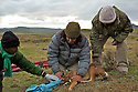 Renown canid researcher Dr Claudio Sillero assesses the health of a captured Ethiopian Wolf.<br />