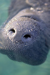 Manatee's Nose