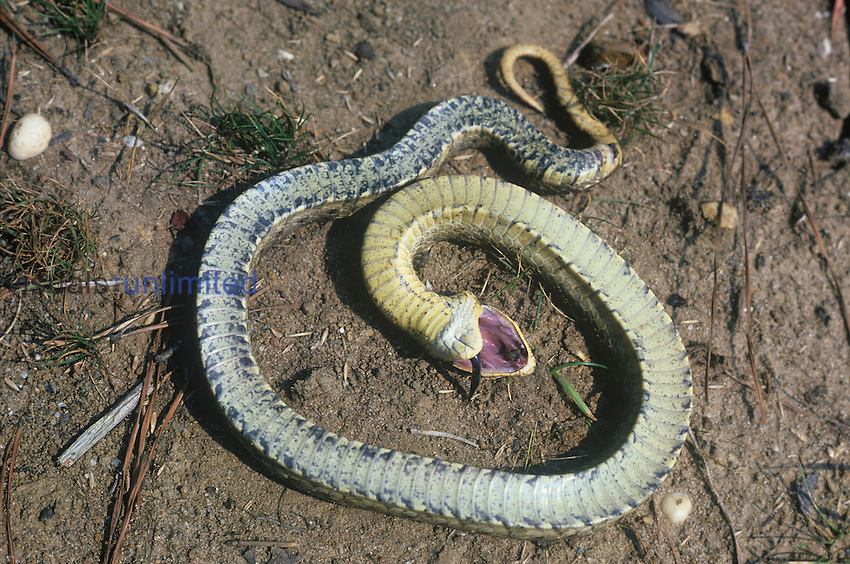 Eastern Hognose Snake (Heterodon platyrhinos) feigning death.
