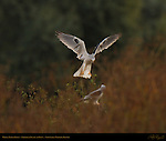 White-tailed Kites, Ethereal Fly-by at Dawn, Sepulveda Wildlife Refuge, Southern California