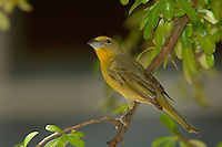 Hepatic Tanager, Piranga flava, Female, Madera Canyon, Arizona, USA