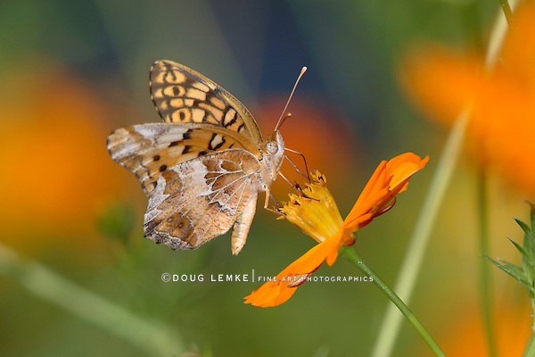 Small Butterfly, Variegated Fritillary On Orange Flower, Euptoieta claudia