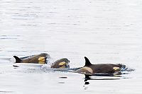killer whale or orca, Orcinus orca, pod of Type B orcas, Duse Bay, Antarctica, Weddell Sea, Southern Ocean