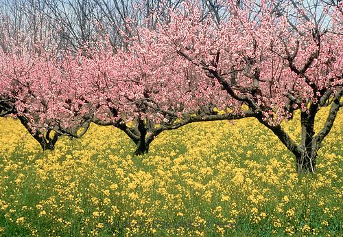 Blooming peach trees and flowering wild mustard, GA