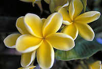 Yellow plumeria or frangipani is a native of tropical America often used to make fragrant lei