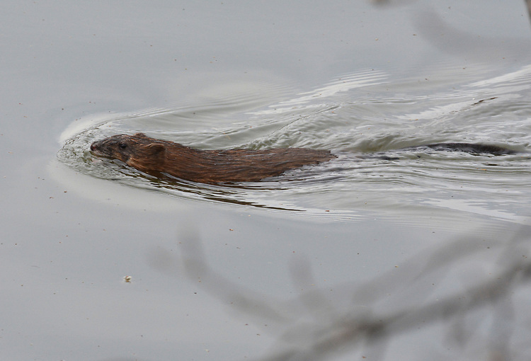 A Beaver seen swimming in the Esopus Bend Nature Preserve in Saugerties, NY, on Sunday, April 15, 2017.. Photo by Jim Peppler. Copyright Jim Peppler/2017.