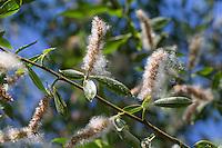 Silber-Weide, Silberweide, Weide, Früchte, Frucht, fruchtend, Samen, Salix alba, White Willow, fruit, seed
