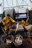 """Europe/France/Bretagne/29/Finistère/Le Guilvinec: Pêche en mer sur le chalutier """"Samouraï"""" - Tri des poissons [Non destiné à un usage publicitaire - Not intended for an advertising use]"""