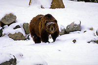 Grizzly Bear in snow. Montana, Grizzly Discovery Center.