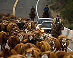 Buck Meadows, California October 17, 2008.Erickson Cattle Company Cowboys drive Ackerson cows from the Sweet-water Camp grounds across Highway 120 bridge over the south fork of the Tuolumne river to Kassabuam Meadow. ..Photo by Al Golub/Golub Photography
