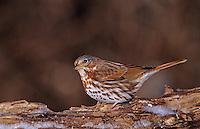 Fox Sparrow, Passerella iliaca, adult on log with ice, Burlington, North Carolina, USA, January 2005