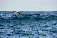 Black-footed Albatross (Phoebastria nigripes) dynamic soaring over an opean ocean wave. Gray's Harbor County, Washington. October.