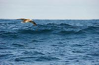 Black-footed Albatross (Phoebastria nigripes) dynamic soaring over an opean ocean wave. Gray's Harbor County, Washington. October.