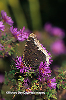 03402-00111 Mourning Cloak butterfly (Nymphalis antiopa) on Aster sp. Marion Co. IL