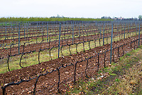 syrah vines trained in Cordon Royat on the typical sandy pebbly soil in this part of Crozes Hermitage. Domaine Gilles Robin, Les Chassis, Mercurol, Drome, Drôme, France, Europe