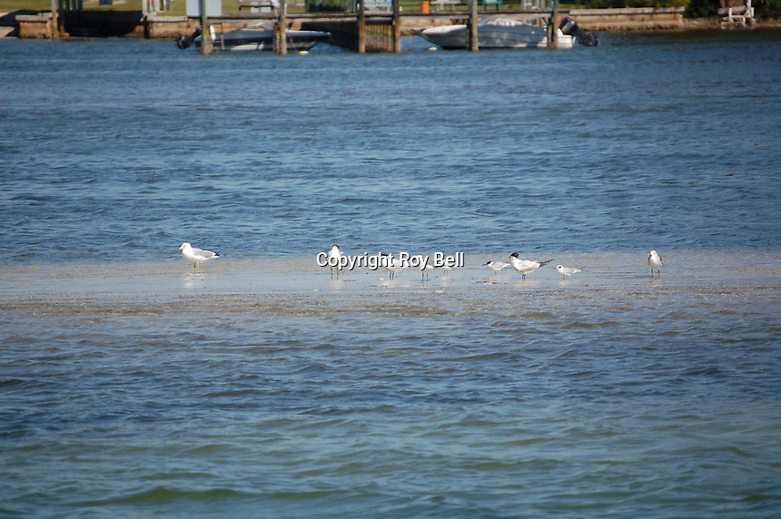 water birds on sand island near St. Petersburg Florida on the intercoastal waterway. Spring 2007