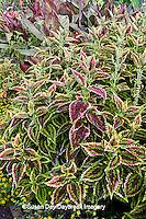 65821-00211 Coleus (Solenostemon scutellarioides)  Terrace Garden at Sarah P. Duke Gardens, Durham, NC