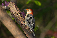 Red-bellied Woodpecker (Melanerpes carolinus).  Eastern U.S., Spring.