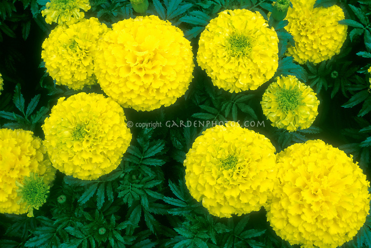 marigold annual flowers stock photos  images  plant  flower, Natural flower