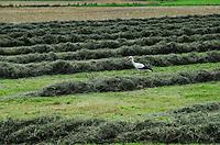 DEUTSCHLAND, Landwirt Martin Scholz in Hitzacker bewirtschaft ca. 100 ha Wiesen, Weiden und und Naturschutzwiesen fuer den Heuanbau, Storch auf Heuwiese