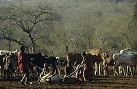 TANZANIA Handeni, Masai nomads with Zebu cow herd / TANSANIA Handeni, Masai Nomaden mit Zebu Rinderherde im Kral