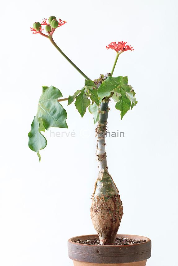 Jatropha podagrica, fleurs et fruits // Jatropha podagrica, flowers and fruits