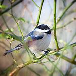 Chickadees, Titmouse, Junco, Nuthatch Dickcissel*