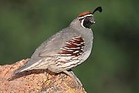Gambel's Quail - Callipepla gambelii - Adult male