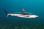 Carcharhinus perezii, Caribbean reef shark, Green Turtle Cay, Bahamas