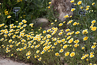 "Layia platyglossa, Tidy Tips, seen in a San Juan Capistrano yard during the 2018 ""California in my garden"" plant tour of the Orange County Chapter of the California Native Plant Society."