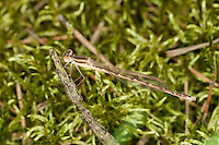 Gemeine Winterlibelle, Männchen, Winter-Libelle, Sympecma fusca, Common Winter Damselfly, Common Winter Damsel