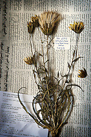 A dried Scorzonora cana plant from North Lebanon lies on an Arabic newspaper ready to be catalogued into the archive of the Royal Botanical Gardens, Kew in London.