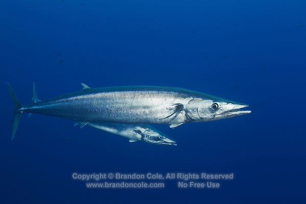 RM40055-D. <br /> Wahoo (Acanthocybium solandri), grow to 8 feet long, pelagic predator and prized gamefish. Baja, Mexico, Pacific Ocean.<br /> Photo Copyright &copy; Brandon Cole. All rights reserved worldwide.  www.brandoncole.com