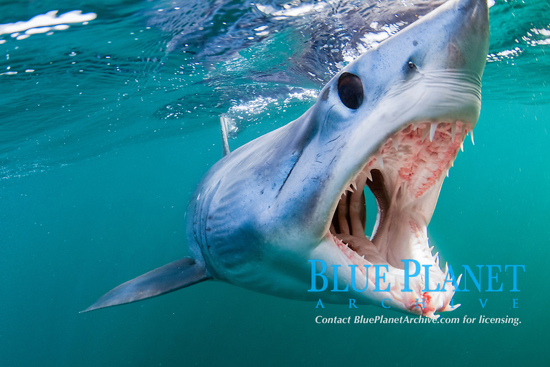 shortfin mako shark, Isurus oxyrinchus, with open jaws, showing its sharp teeth and gill openings, Cape Point, Cape Peninsula, South Africa