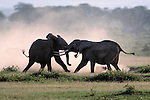 African Elephants spar, Amboseli National Park, Kenya