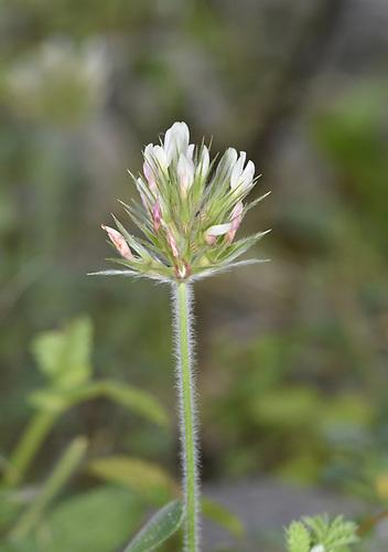 Starry Clover - Trifolium stellatum