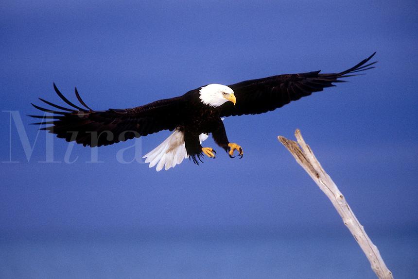 Bald eagle preparing to land on dead tree. Alaska