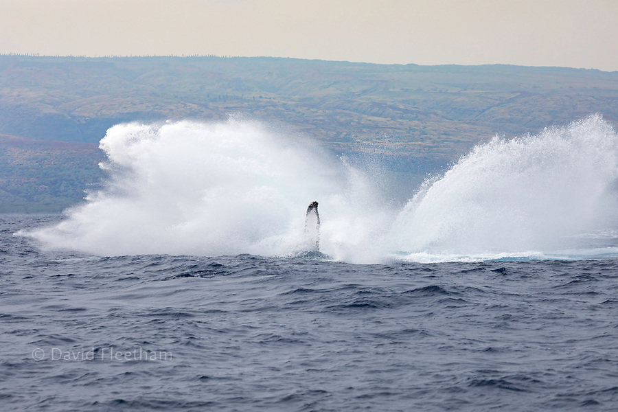 The enormous splash of a breaching humpback whale, Megaptera novaeangliae, Hawaii. The island of Lanai is in the background.